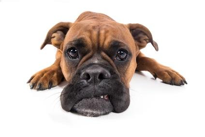 Hund Boxer braun liegt mit Schnautze auf Boden und guckt traurig